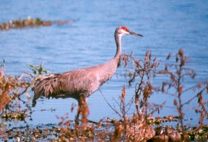 The Sandhill Crane may only be a migratory visitor to Nebraska. But from February to April each year, 500,000 of them return to feed at Nebraska's Platte River as one of the largest congregation of birds of North America. Such event attracts 12,000 to 15,000 tourists and there's even a Crane festival in March.