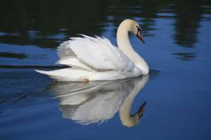 The Trumpeter Swan is the largest North American waterfowl. However, while the commercial trade in swan skins and excessive hunting have led to significant decline, populations have been increasing where they've been introduced. Wisconsin being one of those states that has.