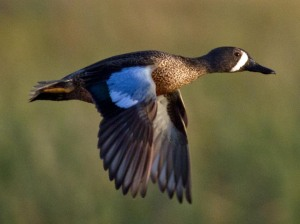 The Blue-Winged Teal is among the latest ducks to migrate northward in the spring, and one of the first to migrate southward in the fall. They can also migrate long distances with some going all the way from Canada to South America. And since North Dakota is known as America's duck nursery, it would make an appropriate state bird.