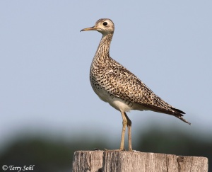 The Upland Sandpiper is a shorebird of grasslands, preferring the open grassy areas of the Great Plains. Hunting and loss of habitat have caused its population to decline since the 19th century.