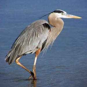 The Great Blue Heron is a majestic sight whether poised on a river or cruising a coastline with slow, deep, wingbeats. Though it may seem motionless and slow moving at times, it can strike like lightning to grab a fish or snap a gopher. Can also hunt at night or day.