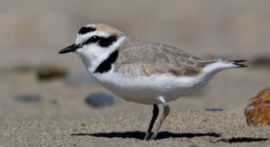 The Snowy Plover raises 2 broods a year, sometimes 3 in places where the breeding season is long. When the chicks hatch, the female deserts her mate and her brood as well as initiates a new breeding attempt with a different mate. Yeah, I know it's kind of neglectful, but it's sometimes how nature works, man.