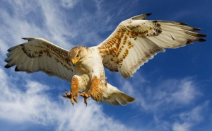 The Ferruginous Hawk is the raptor of the open country and the largest hawk in North America. It is often mistaken for an eagle due to its size, proportions, and behavior. It's also the most adaptable nester of the raptors as well.