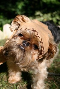 Now this is an easy Star Wars costume for dogs. In this case, the dog actually almost looks like an Ewok.