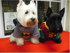 Yes, these are dogs dressed as Batman and Robin. Still, shouldn't the Scottie be the Batman. Because Batman is the Dark Knight.