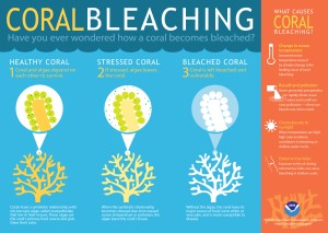 Due to climate change and ocean acidification, coral reefs are becoming increasingly under threat by coral bleaching. Bleached coral has no algae and becomes vulnerable to disease and has no major source of food. Coral bleaching is very serious threat to reefs as well as marine ecosystems everywhere.