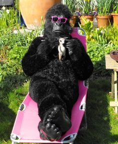 Wouldn't expect to see anyone knit in a gorilla suit. But that's pretty funny.