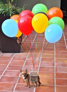 Yes, this is another canine costume. And yes, it's the house from Up on a chihuahua.