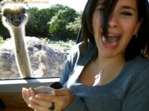 I can understand why that woman is screaming. If an ostrich appeared at your car window, you'd feel the same way.