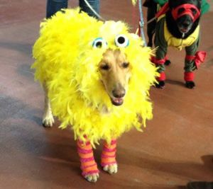 Yes, this dog is covered in yellow feathers. Don't ask. It's just that it's playing Big Bird.