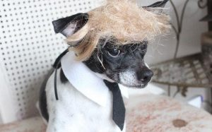 This dog understandably doesn't look happy. Well, if someone put a Trump wig on me without my consent, I would, too.